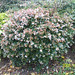 Small photo of Abelia x grandiflora