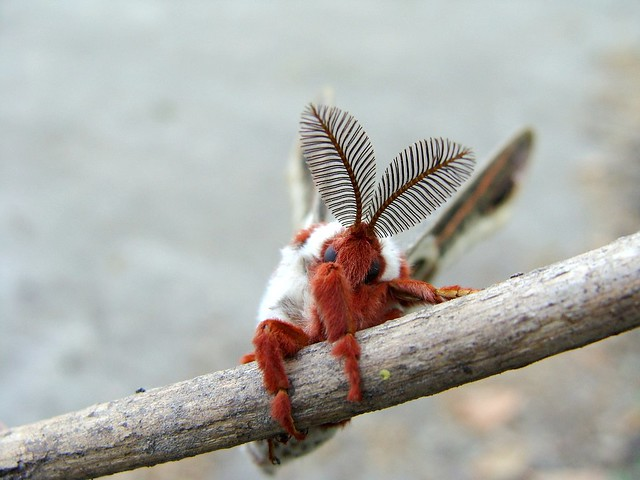 Cecropia moth II