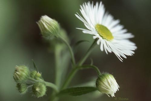 Fleabane Daisy by Bruce Shapka