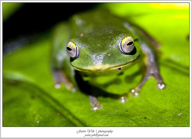 台北树蛙 19C0322图片