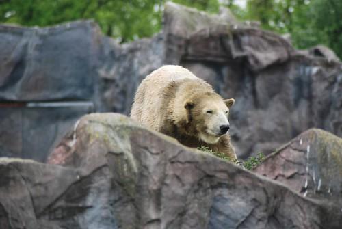 Eisbärin Fanny in der Zoom Erlebniswelt in Gelsenkirchen