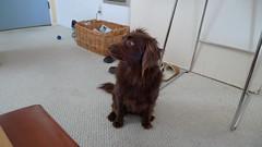 animal, dog, brown, pet, mammal, irish setter, setter, english cocker spaniel, spaniel,