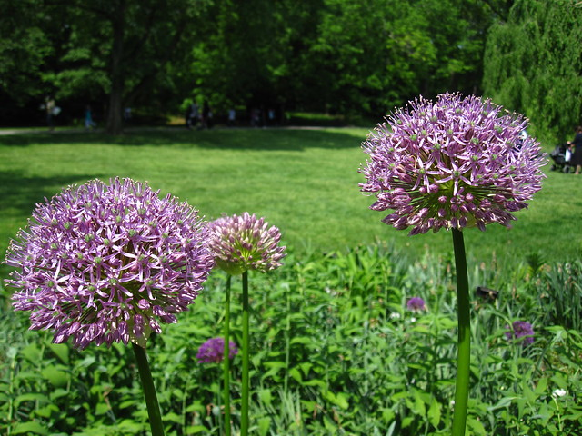 Allium aflatunense blooms in the Plant Family Collection at BBG. Photo by Rebecca Bullene.