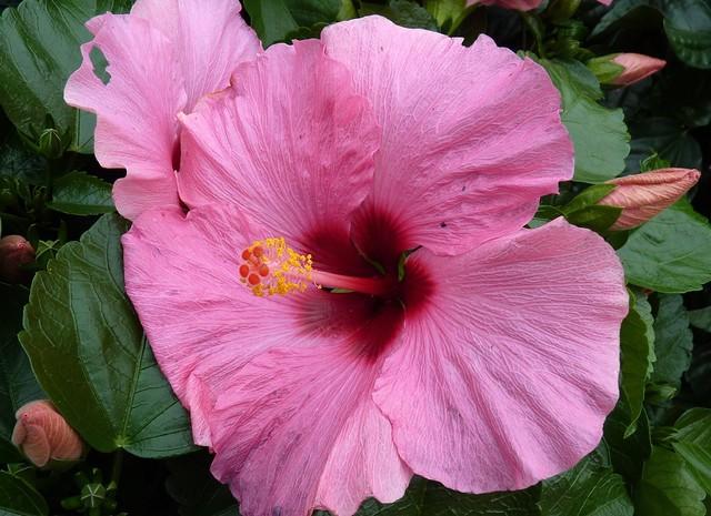 Hibiscus rosa-sinensis (China rose)