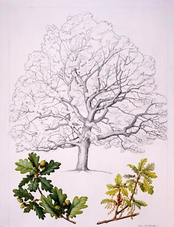 "Eleanor I. Rohrbaugh, Quercus robur Watercolor and graphite pencil, 30"" × 22"""