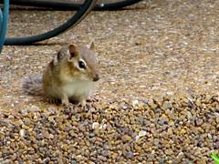 prairie dog(0.0), mouse(0.0), muridae(0.0), hamster(0.0), gerbil(0.0), wildlife(0.0), animal(1.0), squirrel(1.0), rodent(1.0), pet(1.0), fauna(1.0), chipmunk(1.0),