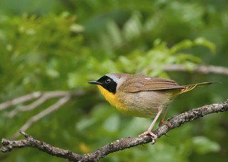 Common Yellowthroat, PA