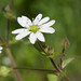 Cerastium - Photo (c) Franco Folini, some rights reserved (CC BY-SA)