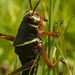 Eastern Lubber Grasshopper - Photo (c) Nick Miller, some rights reserved (CC BY-NC-SA)