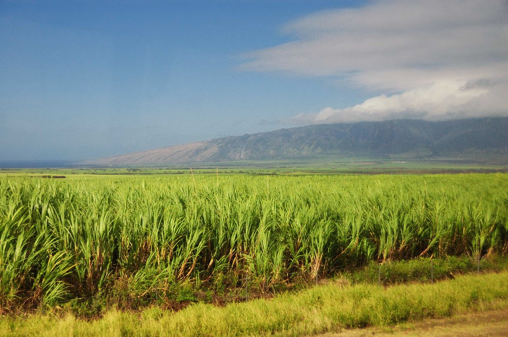 Image result for sugar plantations in hawaii