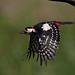 Great Spotted Woodpecker in Flight by Starn