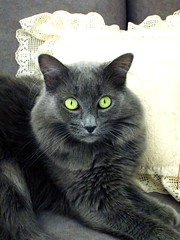 domestic long-haired cat, animal, british semi-longhair, small to medium-sized cats, pet, black cat, fauna, cat, carnivoran, whiskers, nebelung, russian blue,