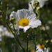 Matilija poppy - Photo (c) randomtruth, some rights reserved (CC BY-NC-SA)