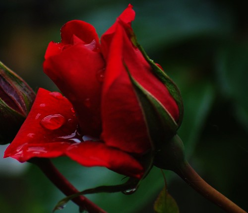 Red rose with rain on..