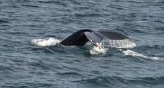 animal, marine mammal, sea, marine biology, wind wave, whales, dolphins, and porpoises, humpback whale,