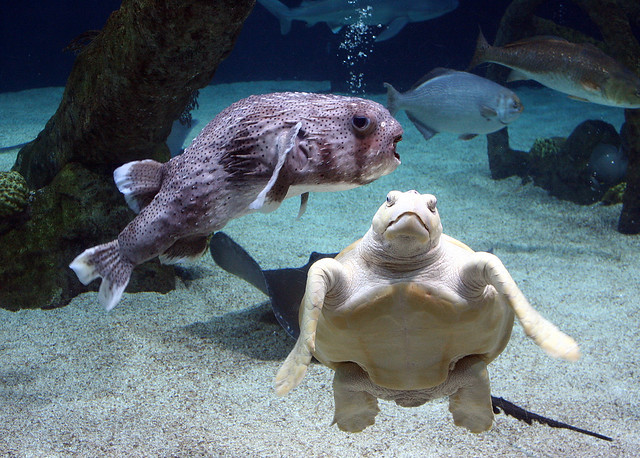 Giant puffer fish and sea turtle flickr photo sharing for Giant puffer fish