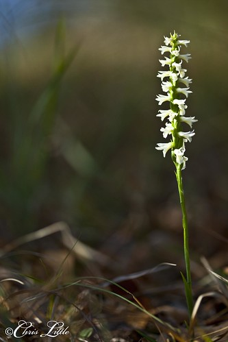orchid flower flora texas native hills worth wildflower tandy spiranthes ladiestresses fortworthft cernua noddingladiestresses ladiestresse