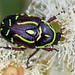 Flower Scarabs - Photo (c) Michael Jefferies, some rights reserved (CC BY-NC)