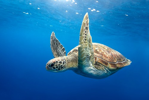 Green Sea Turtle - Similan Islands, Thailand