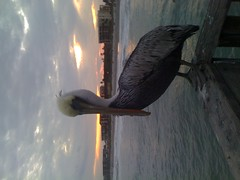 Hanging out on the pier with some pelicans at sunset.
