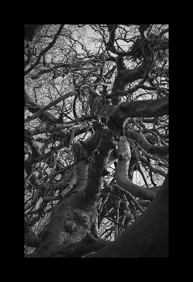 Photography: Weeping Beech by Nicholas M Vivian