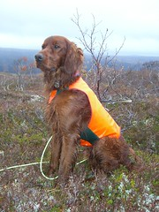 boykin spaniel(0.0), animal(1.0), sussex spaniel(1.0), dog(1.0), pet(1.0), mammal(1.0), field spaniel(1.0), irish setter(1.0), setter(1.0), english cocker spaniel(1.0), blue picardy spaniel(1.0), spaniel(1.0), hunting dog(1.0), german spaniel(1.0),