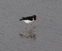 stilt(0.0), seaduck(0.0), animal(1.0), charadriiformes(1.0), wing(1.0), fauna(1.0), shorebird(1.0), beak(1.0), bird(1.0), seabird(1.0),