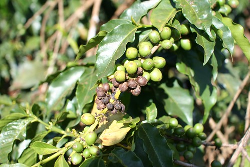 Severe damage by coffee berry disease