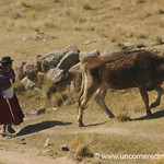 Walking Home With Cow - Puno, Peru to Copacabana, Bolivia