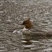 a female Goosander (Swedish: Storskrake)