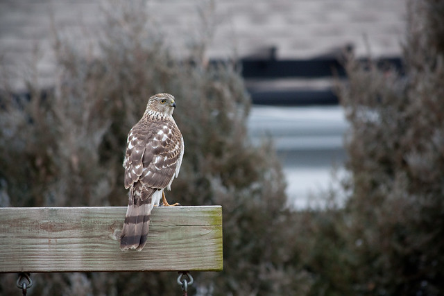 Hawk Great Backyard Bird Count