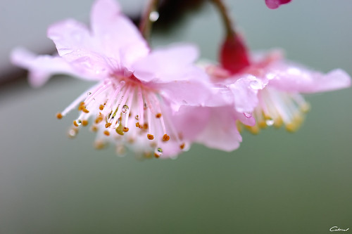 櫻花淚 (Explored) Sakura's tears