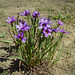 Western Blue-eyed Grass - Photo (c) Franco Folini, some rights reserved (CC BY-SA)