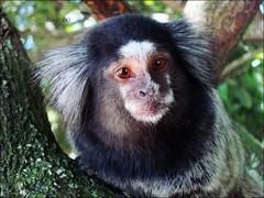 tufted capuchin(0.0), capuchin monkey(0.0), white-headed capuchin(0.0), macaque(0.0), animal(1.0), monkey(1.0), mammal(1.0), fauna(1.0), spider monkey(1.0), marmoset(1.0), old world monkey(1.0), new world monkey(1.0), wildlife(1.0),