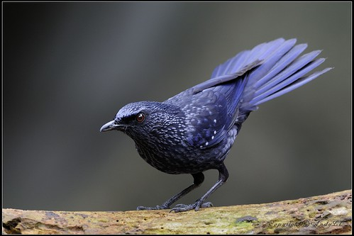 Blue Whistling Thrush - 紫嘯鶇