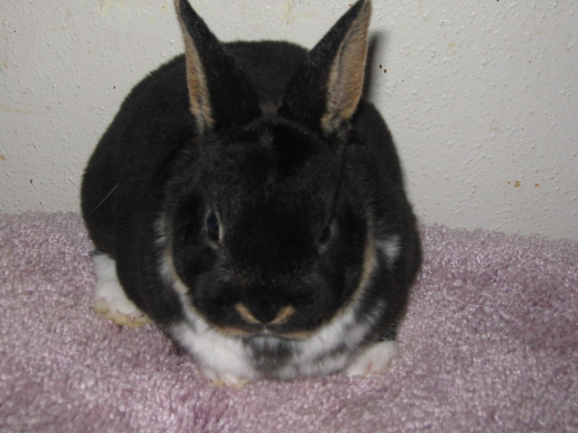 4403791284 372e7cd1b6 z jpg zz 1Black Mini Rex Rabbits