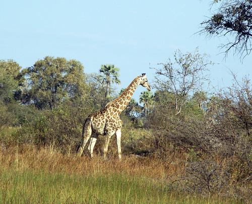 Southern Giraffe by Godutchbaby Flickr.com
