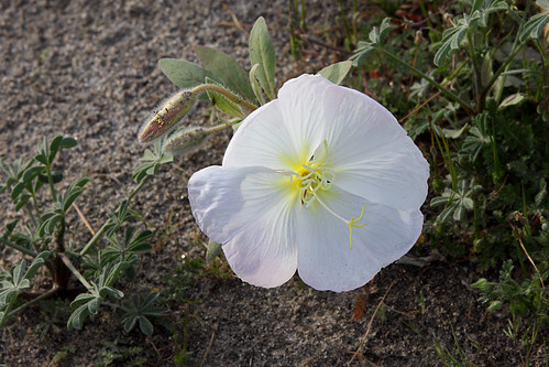 Dune Evening Primrose bloom