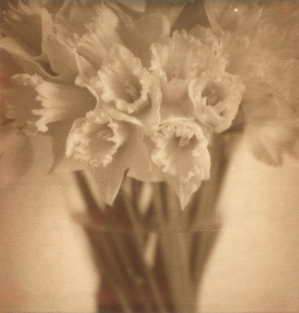 Daffodils in PX100 Silver Shade / First Flush
