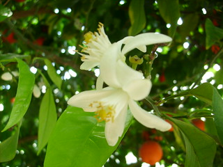 Orange, Orange Blossoms