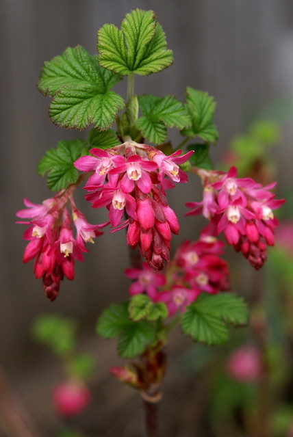 Wild Flowering Currant Flickr Photo Sharing