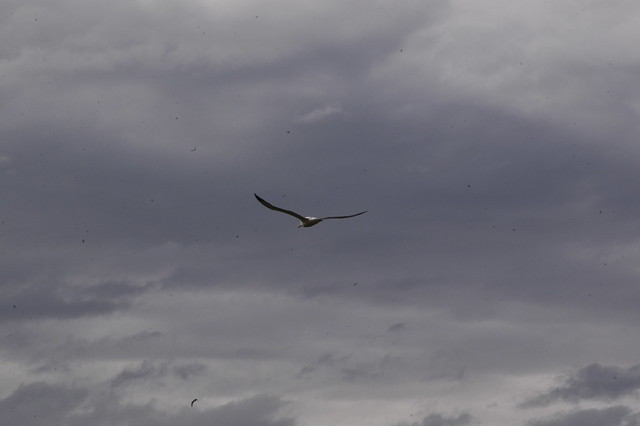 Albatross in Otago Peninsula