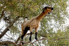 Goats & Argan Oil, Morocco  2008