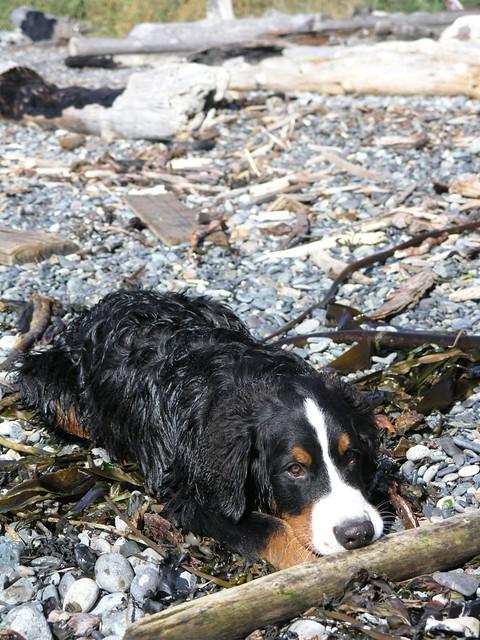 Facebook Bernese Mountain Dog For Sale