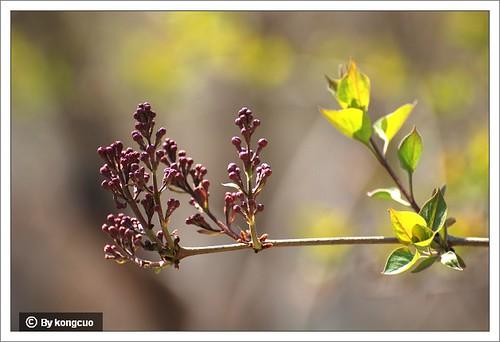 【图】紫丁香的花芽