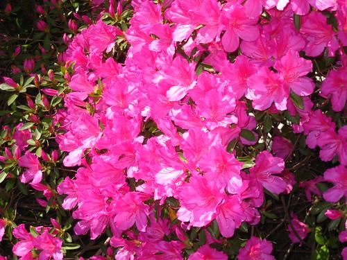 pink flowers alabama tuscaloosa