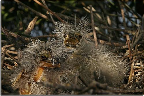 birds 100400mm yellowcrownnightheron 2470mm closeupmacro floridaimages immaturechicks riverrookeries nestingchicks