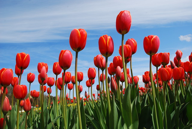 it's tulip time.. (6)