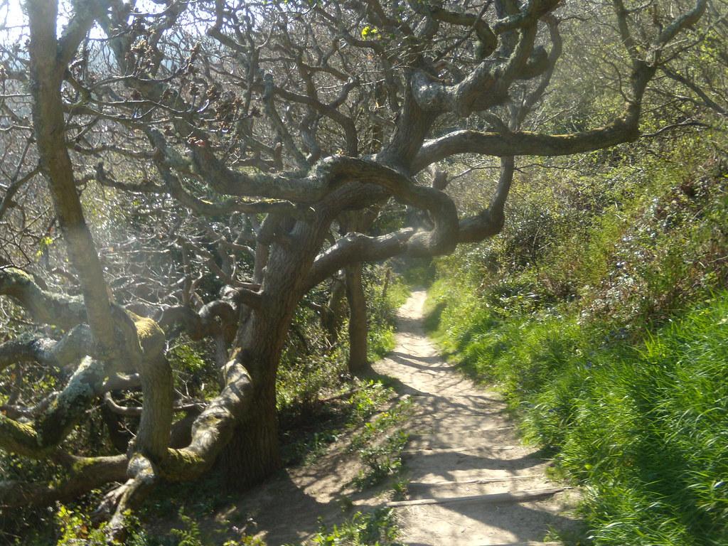 Twisted tree Rye to Hastings