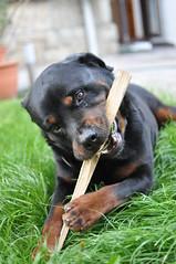 dog breed(1.0), animal(1.0), dog(1.0), mammal(1.0), greater swiss mountain dog(1.0), rottweiler(1.0),